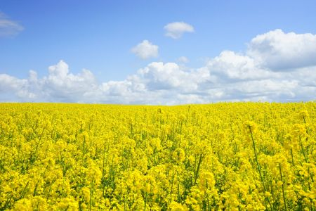 field of rapeseeds 474558 1920