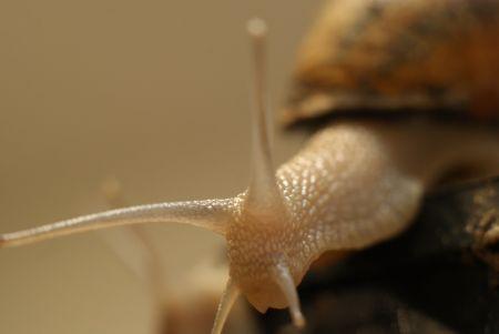 Czy śluz ślimaka zwalcza bakterie? Trwają badania