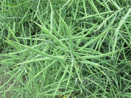 Agrotechnika rzepaku jarego