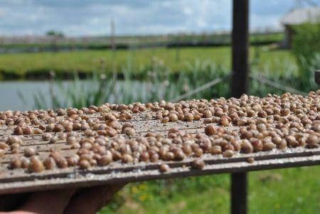 Ekologiczne rolnictwo, hodowla ślimaków - nowość na polskim rynku!