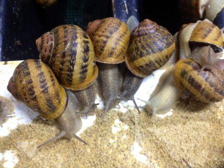 Żywienie ślimaków ma duży wpływ na powodzenie hodowli