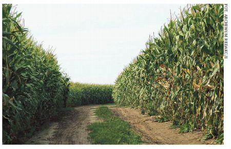 Dobór odpowiedniej odmiany warunkiem uzyskania optymalnego plonu kukurydzy