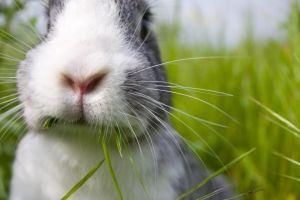 Rozpoczęcie produkcji żywca króliczego