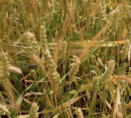Mieszanki zbóż jarych  -  racjonalna uprawa