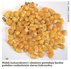 Wołek kukurydzowy i zbożowy powodują bardzo podobne uszkodzenia ziarna kukurydzy