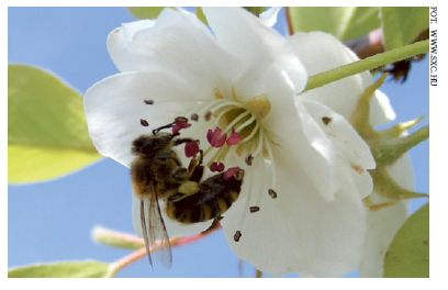 Rekompensaty za pszczoły w sadach