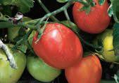 Pomidor MIESZKO F1, PlantiCo Hodowla i Nasiennictwo Ogrodnicze Zielonki sp. z o.o., Stare Babice