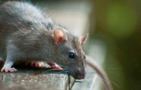 Gryzonie niszczą zbiory i roznoszą choroby