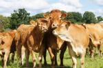 Zdjęcie 1: Byki, odsadki(80-350kg)ras mięsnych