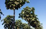 Zdjęcie 2: Drzewa tlenowe jako alternatywne źródło dochodu.