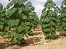 Zdjęcie 3: Drzewa tlenowe jako alternatywne źródło dochodu.