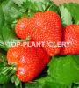 Zdjęcie 3: Sprzedam sadzonki truskawek frigo Clery, Vibrant, Arosa, Florence, Joly i inne