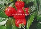 Zdjęcie 4: Sprzedam sadzonki truskawek frigo Clery, Vibrant, Arosa, Florence, Joly i inne