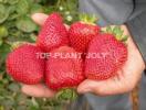 Zdjęcie 5: Sprzedam sadzonki truskawek frigo Clery, Vibrant, Arosa, Florence, Joly i inne