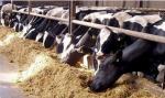 Ukraina. Byczki, jalowki 4 zl/kg. Siano, sloma do darmowego zbioru. Sprzedam stada bydla miesnego, mlecznego. Wolowina, zywiec. Byki, buhaje miesne 4 zl/kg, cieleta mleczne 5 zl/kg. Czernihowski obw.