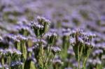 Kontraktacja nasion rolniczych (facelia, trawy, gorczyca itd)