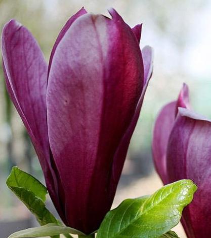 5a5c22abb9e89 magnolia ann