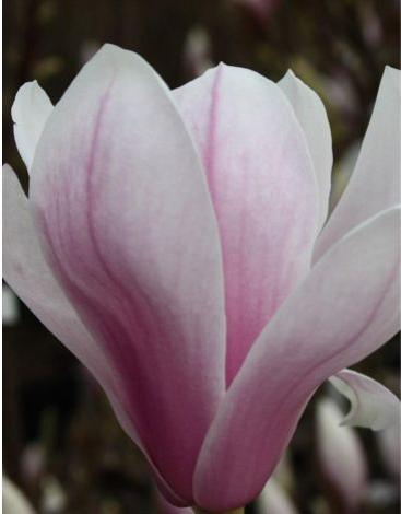 5a5c22b2311ad magnolia alexandrina